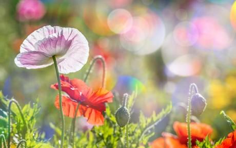 Mohnblumen im Frühling