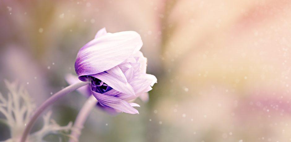 Anemone Blume