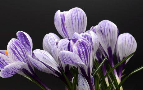 Crocus Blumen