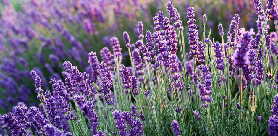Entspannung mit Lavendel